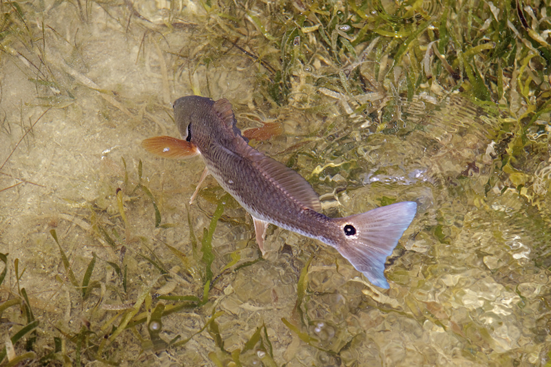 Redfish ©Pat Ford 2011