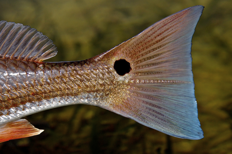Redfish Tail Closeup ©Pat Ford 2011