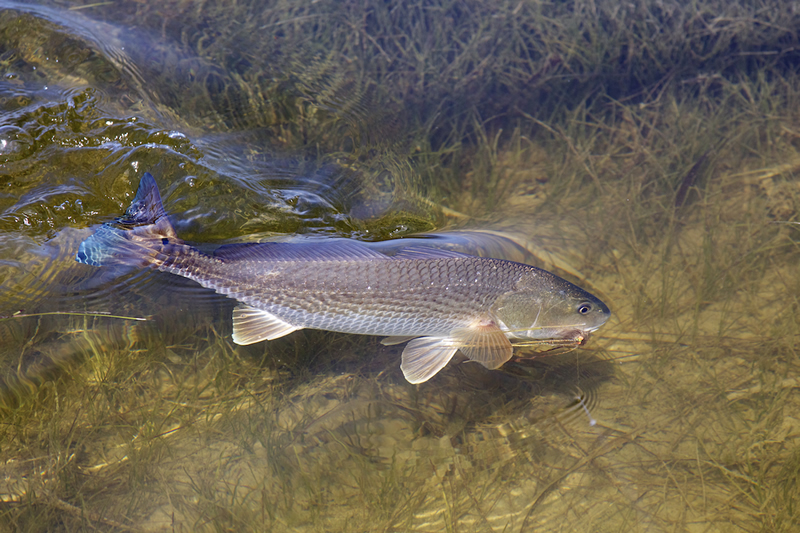 Tailing Redfish ©Pat Ford 2011