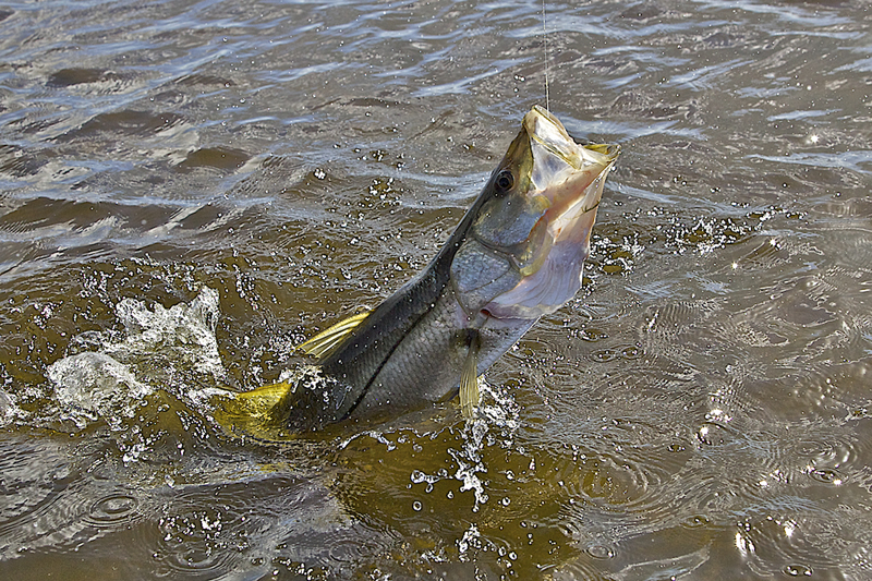 Jumping Snook ©Pat Ford 2011