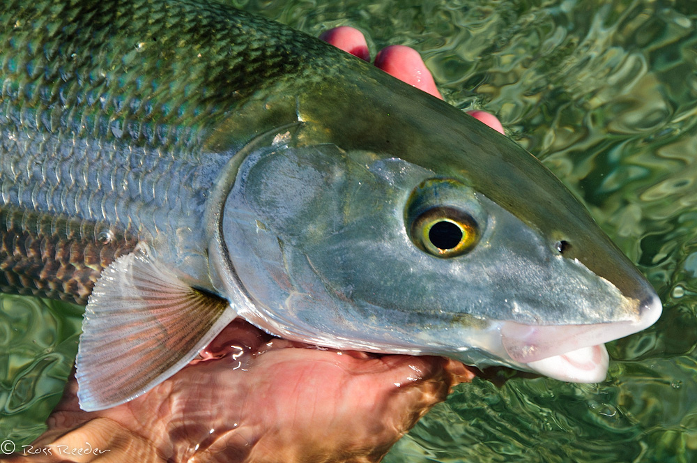 Bonefish Closeup ©Ross Reeder 2011