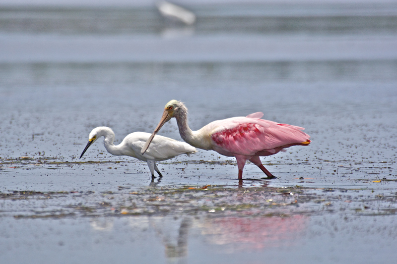 Spoonbill and Egret ©Pat Ford 2011