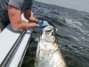 Big Tarpon Boatside ©Ross Reeder 2011