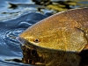 Redfish Closeup ©Pat Ford 2011