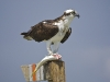 Osprey with bonefish ©Pat Ford 2011